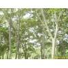 供应雪松,朴树,榉树,乌桕,榔榆,栾树,香樟,枫杨