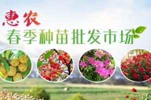 云南罗平板桥镇:千余农民种植红辣椒增收致富