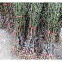 巴旦木种苗、巴旦木种苗培养基地、山西运城、农业网