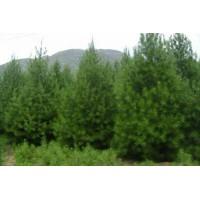 白皮松规格、丛生白皮松苗圃、山西白皮松产地供应商
