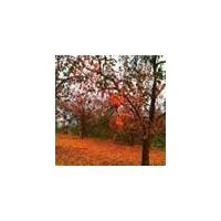 山西柿子树_ 柿子树树苗 _各种规格柿子树低价供应_货源充足