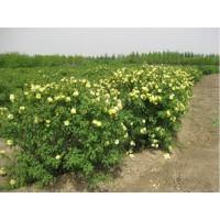 黄刺玫苗木批发、丛生黄刺玫、山西黄刺玫产地供应商