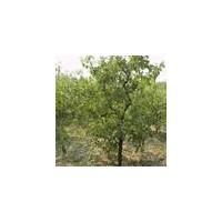 枣树苗、新品种枣树苗、三公分枣树苗木培育基地