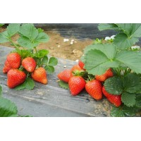 草莓苗、产地草莓苗、奶油草莓苗产地供应商