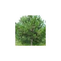 油松、1/5米油松,山西油松最新价格行情 -- 农产品信息网