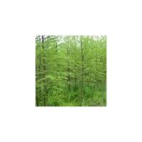 水杉种植基地、12公分水杉、山西优质水杉批发市场