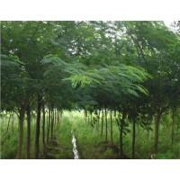 合欢树供应商、山西合欢树批发市场、农业网