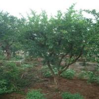 石榴树价格最新柿树价格行情,,石榴树价格,石榴树平台